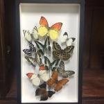 Real Butterfly Art Design in premium box♥ ผีเสื้อเซ็ทในรูปแบบงานศิลปะในกล่องไม้ ♥