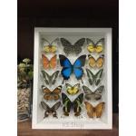 14 Specimen Real Butterfly in wooden box (Ulysses) ♥ ผีเสื้อ 14 ชนิด ในกล่องไม้สีขาว♥