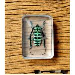 Longhorned Beetle paperweight♥ ♥ ที่ทับกระดาษ ด้วงหนวดยาวม้าลายฟ้า ♥♥