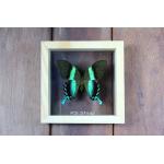 Blumei Green Swallowtail ♥ผีเสื้อ หางติ่ง สีเขียว-ดำ ในกล่องไม้ ,กระจกใสสองด้าน ♥