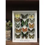 14 Specimen Real Butterfly in wooden box♥ ผีเสื้อ 14 ชนิด ในกล่องไม้สีขาว♥
