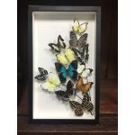 Real Butterfly Art Design in premium box ♥ผีเสื้อเซ็ทในรูปแบบงานศิลปะในกล่องไม้♥