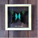 Peranthus Green Swallowtail♥ผีเสื้อ Peranthus Green Swallowtailในกล่องไม้ ,กระจกใสสองด้าน♥