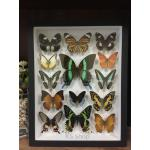 14 Specimen Real Butterfly in wooden box ♥ ผีเสื้อ 14 ชนิด ในกล่องไม้สีดำ♥