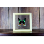 Sun Set Moth ♥ มอธมาดากัสก้า ในกล่องไม้ ,กระจกใสสองด้าน♥