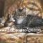 กระดาษสาพิมพ์ลาย สำหรับทำงาน เดคูพาจ Decoupage แนวภาพ แม่แมวขนฟูสีเทากะลูก 2 ตัว บนที่นอนสวยหรู thumbnail 1
