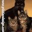 กระดาษสาพิมพ์ลาย สำหรับทำงาน เดคูพาจ Decoupage แนวภาำพ แมวน้อยตัวดำ 1 ตัว กับแมวลายก้างปลาสีเทา 2 ตัว ยืนเบิ่งตาเขม็ง (ปลาดาวดีไซน์) thumbnail 1