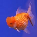 ปลาทองพันธุ์ เกล็ดแก้ว