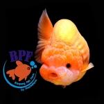 ปลาทองพันธุ์ สิงห์